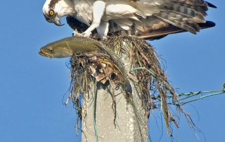 Juvenile Osprey with fish on a utility pole at Ft. De Soto County Park