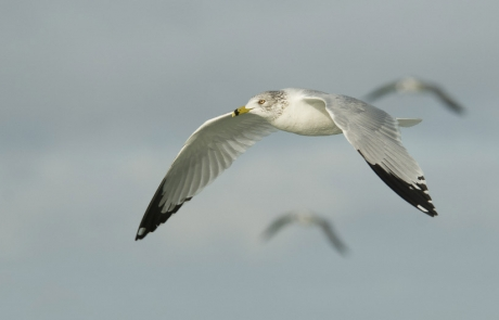 Ring-billed Gull and friends