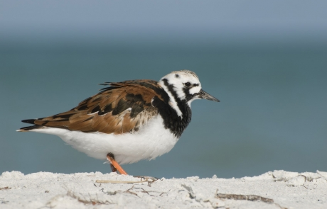Gulf Shore Ruddy Turnstone