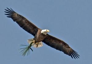 Bald Eagle ©Kathleen Finnerty
