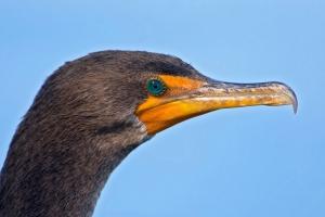 Double-crested Cormorant ©Kathleen Finnerty