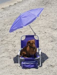 A Dachshund Chilling on the beach