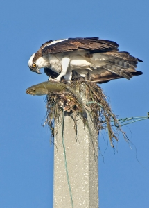 Juvenile Osprey with fish on a utility pole at Ft. De Soto County Park ©Kathleen Finnerty