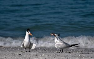 Royal Terns ©Kathleen Finnerty