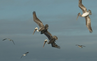 Brown Pelicans starting to dive