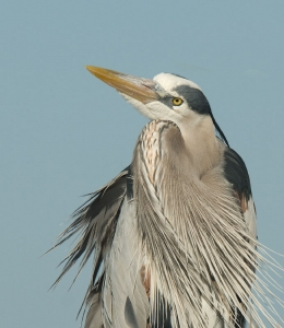 Great Blue Heron portrait ©Mia McPherson