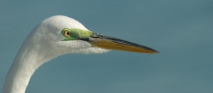 Great Egret close up ©Mia McPherson
