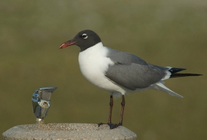 Laughing Gull in breeding plumage at a water fountain ©Mia McPherson