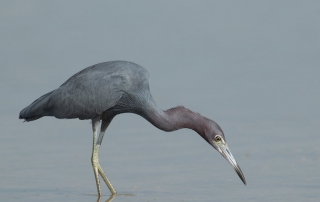 Little Blue Heron stalking prey in a tidal lagoon