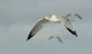 Ring-billed Gull and friends ©Mia McPherson