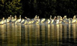 American White Pelicans ©Kathleen Finnerty