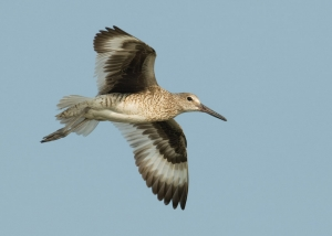 Eastern Willet in flight ©Mia McPherson