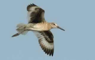 Eastern Willet in flight