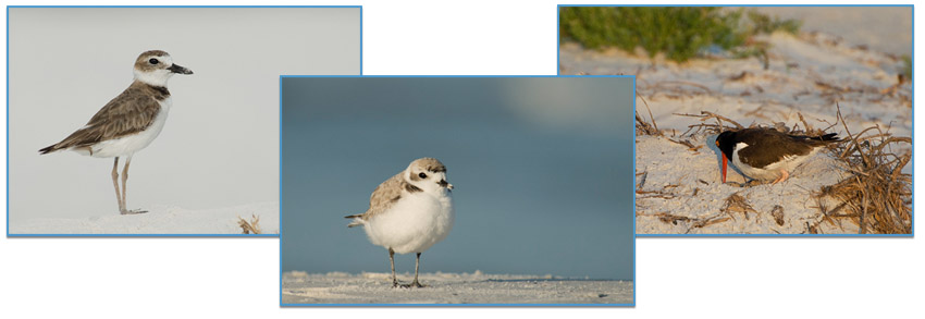 Wilson's Plover, Snowy Plover, American Oystercatcher ©Mia McPherson